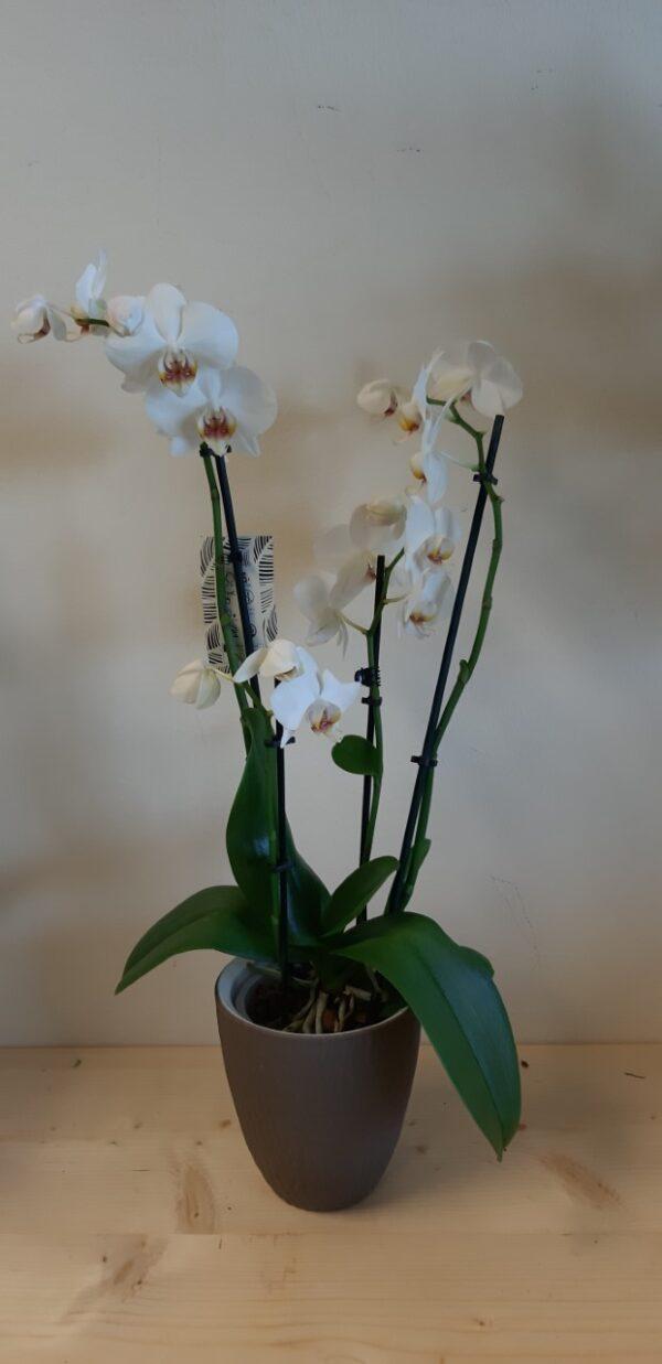 Phalaenopsis Fabulous